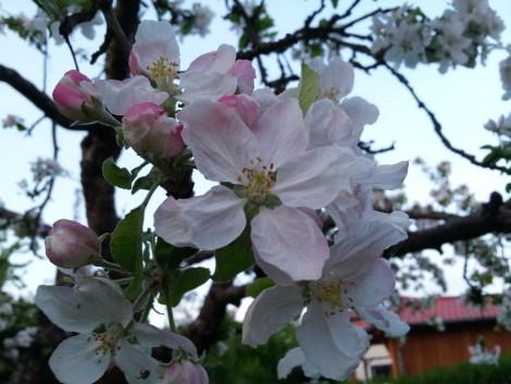 Apfel-Vorfreude